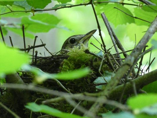 Singdrossel im Nest
