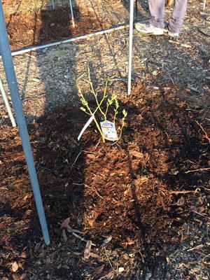 チャンドラーの苗木を植える