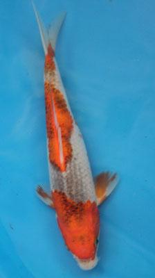 Goshiki 23cm (110€)