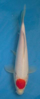 Tancho 25cm [280€)