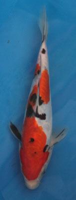 Doitsu Sanke 21cm 110,00€