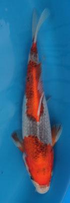 Goshiki 22cm 110,00€