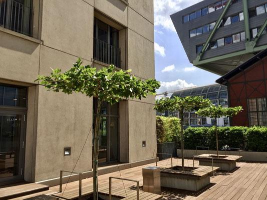 Baumpflanzung Dachplatanen