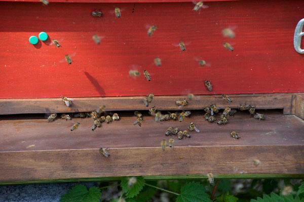 Anflug von Buckfastbienen in Dadant Beute (Foto: T. Grimm)