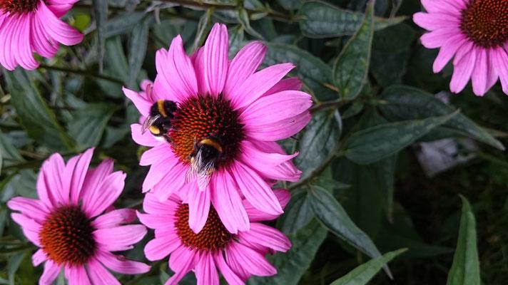 Hummel auf Pollen- und Nektarsuche in der Kölner Flora  (Foto: G. Grimm)