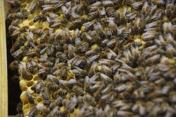 Buckfastbienen auf der Brutwabe (Foto: T. Grimm)