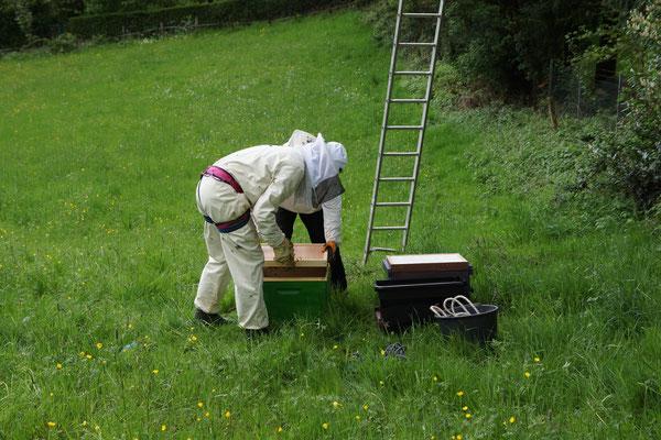 Bienenschwarm wird in die Behausung (Beute) einlogiert