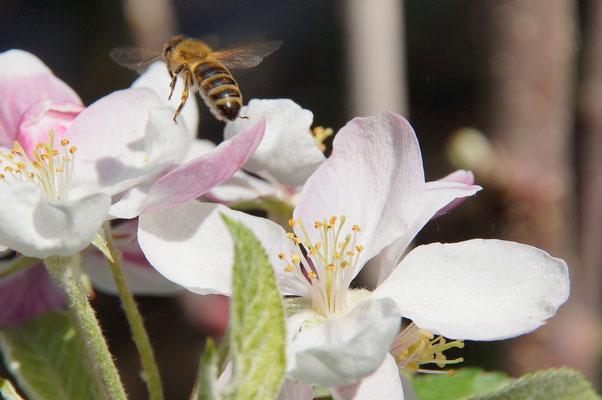 Buckfastbiene an heimischer Apfelblüte (Foto: T. Grimm)