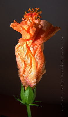 Hibiskus Piruette 35x60 cm