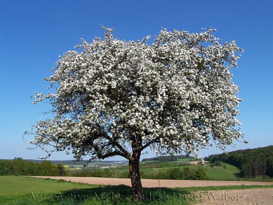 Apfelblüte in Untersteinbach 80x60 cm