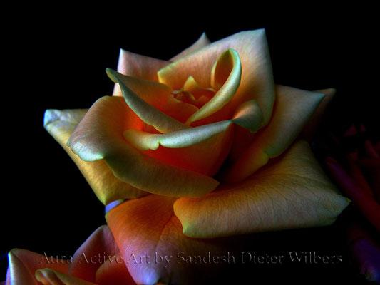 A Special Rose  60x45 cm