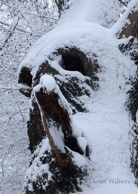 Winterschrei der Teufelseiche - VU35  50x70 cm