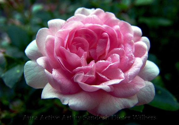 Rosa Rose 50x35 cm