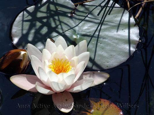 Seerose in Licht und Schatten 80x60 cm