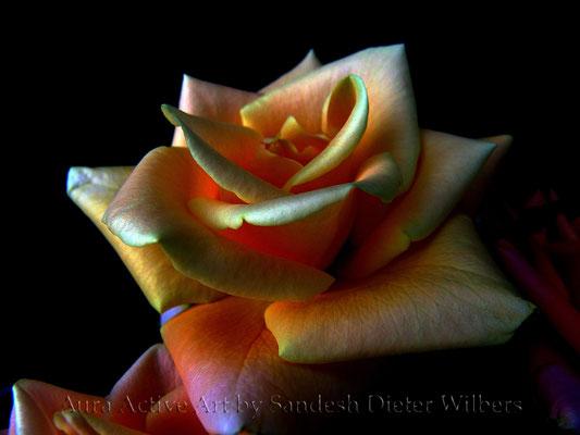 Rose Extra - ATWK 60x45 cm