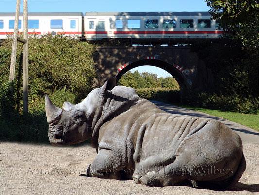 Was Nashorn träumt - 5  80x60 cm
