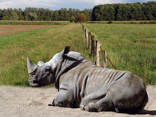 Was Nashorn träumt - 8  80x60 cm