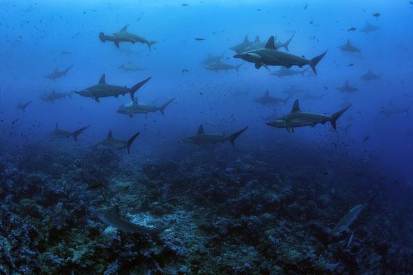 Galapagos Shark Diving - hunderte Haie Galapagos Inseln