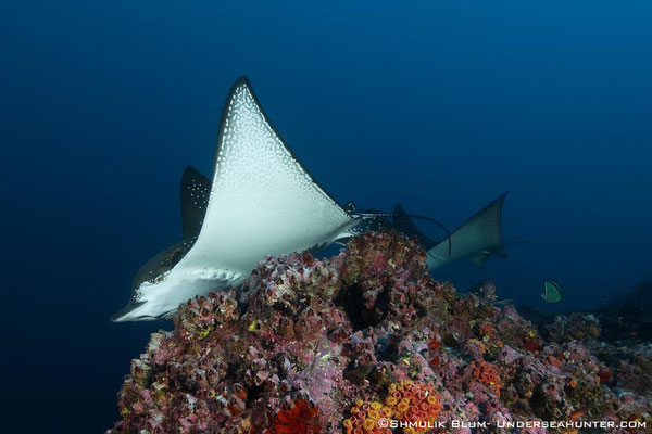 Eagle ray encounter in Cocos Island, ©Unterseahunter Group