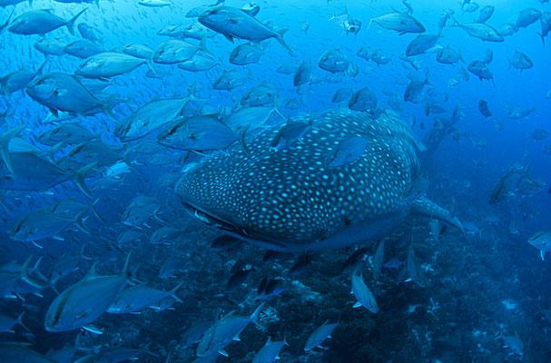 Galapagos Shark Diving - Walhai mit unzähligem Schwarmfisch