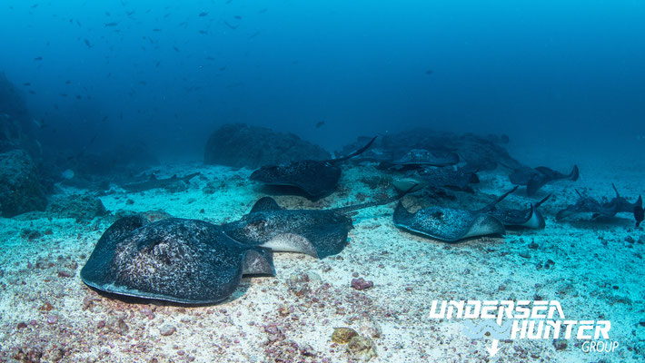Underseahunter Group - marble rays sharks in Cocos Island