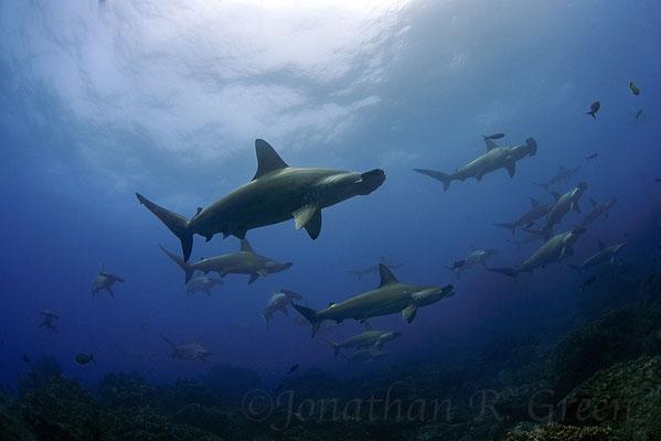 Galapagos Shark Diving - Hammerhaie nahe der Oberfläche