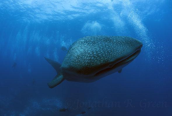 Galapagos Shark Diving - Walhai an der Oberfläche