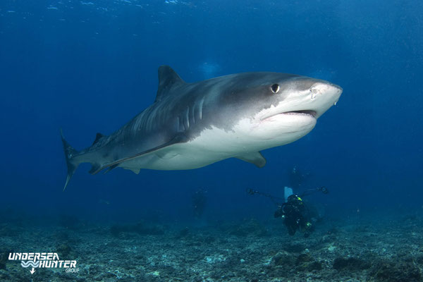 Close encounter with a tiger shark in Cocos Island, ©Underseahunter Group