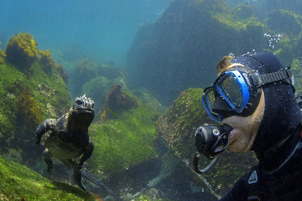 Galapagos Shark Diving - Marine Iguana and Diver at Galapagos Islands
