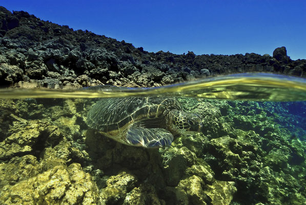 Green Sea Turtle swimming at the surface in the Galapagos, ©Galapagos Shark Diving