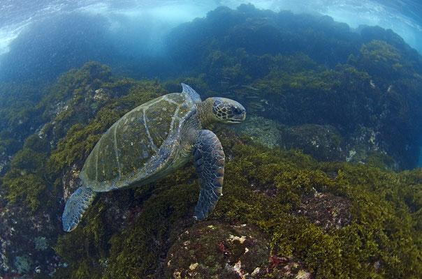 Galapagos Shark Diving - Schildkröte an Korallenriff