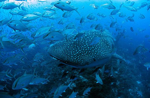 Galapagos Shark Diving - Walhai mit tausenden von Fischen