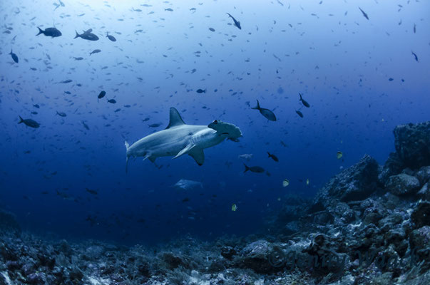 Hammerhead shark surrounded by little fish, ©Galapagos Shark Diving
