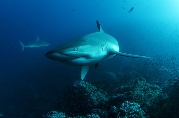 Galapagos Shark Diving - Galapagos Shark coming very close