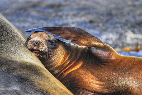 Galapagos Sea lion on land lifting its flipper above its head, ©Galapagos Shark Diving