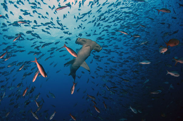 Galapagos Shark Diving - hammerhead shark and swarm fish Galapagos islands Underwater world