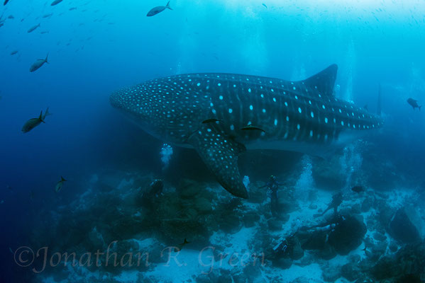 Adult whale shark swims above the heads of a group of divers, ©Galapagos Shark Diving