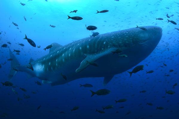 Galapagos Shark Diving - Riesen Walhai mit Fisch