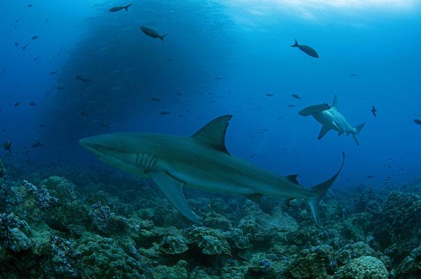 Galapagos shark and hammerhead shark swimming side by side, ©Galapagos Shark Diving