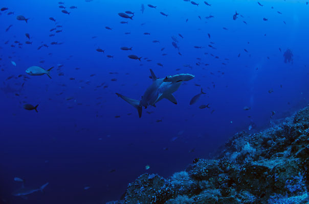 Hammerhead shark swimming by, ©Galapagos Shark Diving