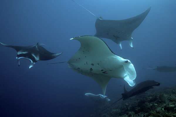 Giant Mantas swimming by