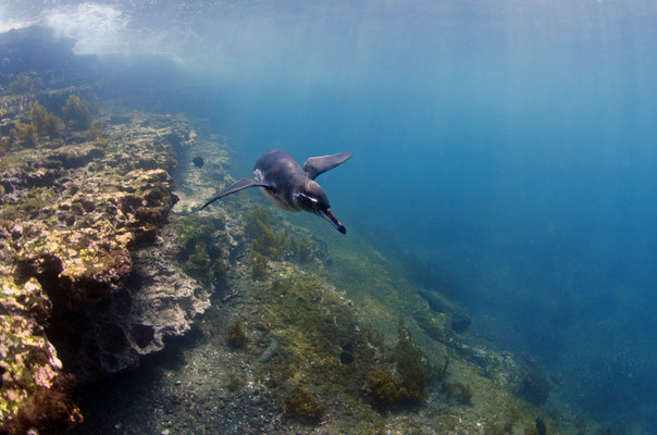 Galapagos Shark Diving - Penguin swims close to corals