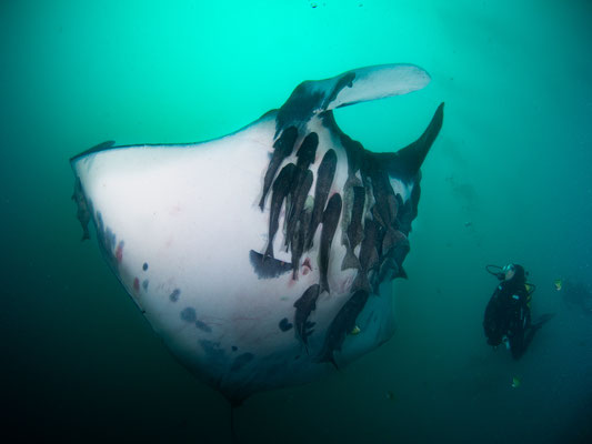 Giant Manta and diver meeting in the water while diving in Cape Marshall in Galapagos, ©Galapagos Shark Diving
