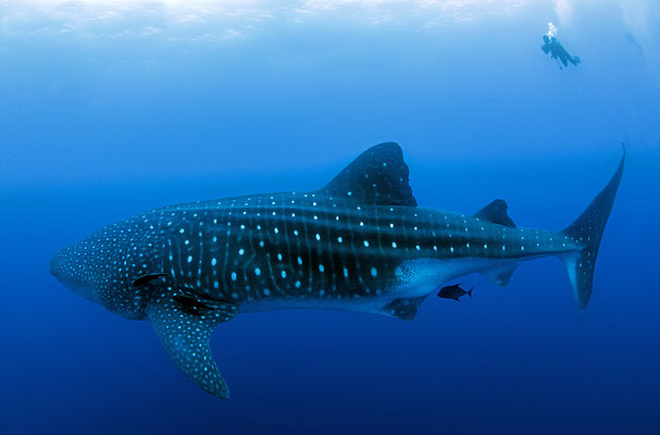 Big adult whale shark is swimming next to a diver while diving in Darwin's Arch in Galapagos, ©Galapagos Shark Diving
