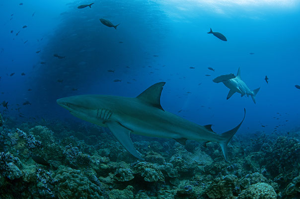 Galapagos shark and hammerhead shark swimming side by side, ©Galapagos Shark Diving