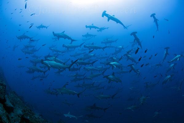 Schule von Hammerhaien, ©Galapagos Shark Diving