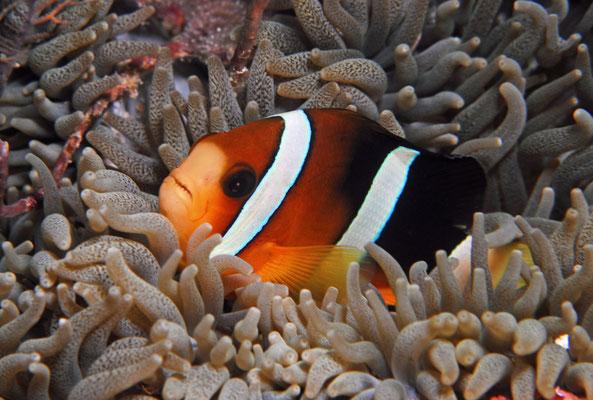 Clownfisch in Raja Ampat, Indonesien ©Jonathan R. Green