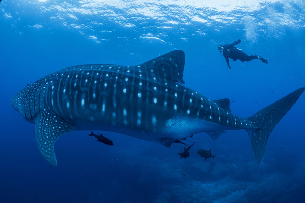 Diver swimming with an adult whale shark side by side, ©Sofia Green