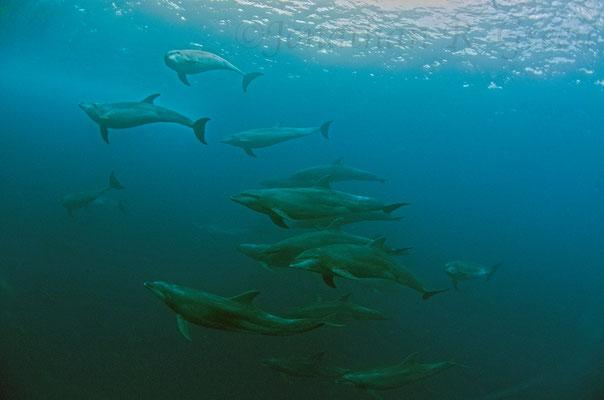 Galapagos Shark Diving - Delfine tauchen an der Wasseroberfläche