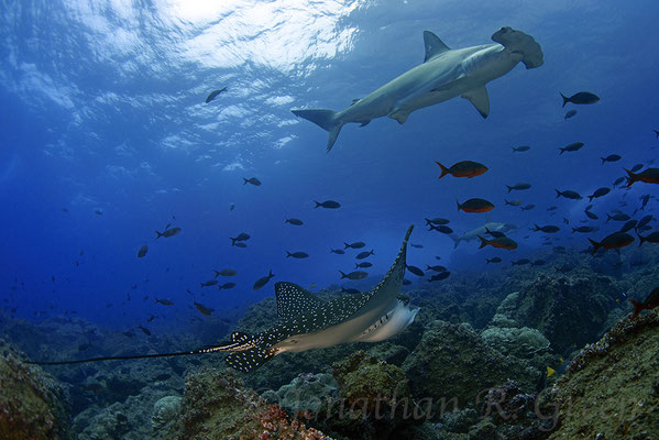 Galapagos Shark Diving - Hammerhead shark and coral close to surface
